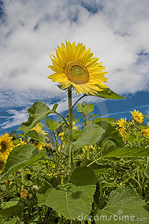 Free Sunflower Royalty Free Stock Images - 190709