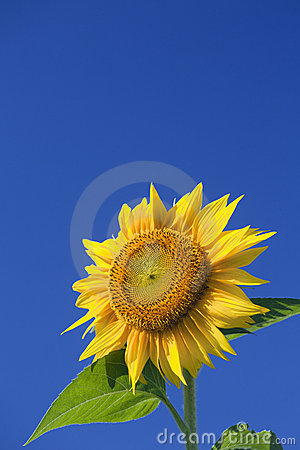 Free Sunflower Stock Photo - 19235740