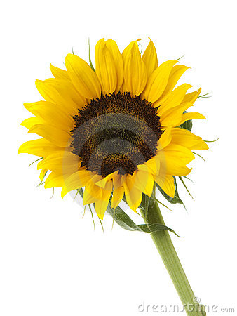 Free Sunflower Stock Photography - 19897192
