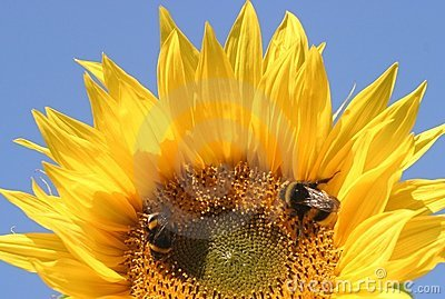 Sunflower and 2 bees