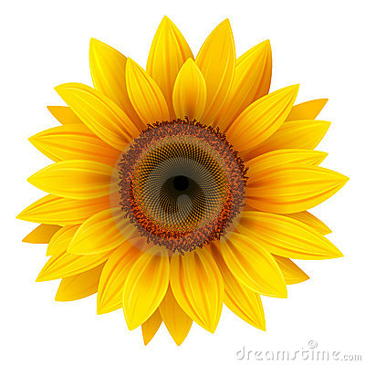 Free Sunflower Royalty Free Stock Photo - 20728245