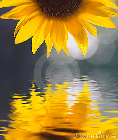 Free Sunflower Stock Photos - 2108603