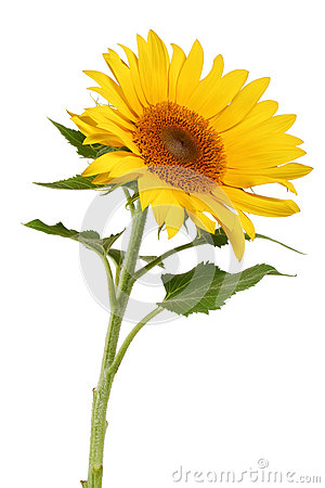 Free Sunflower Royalty Free Stock Photo - 25543655