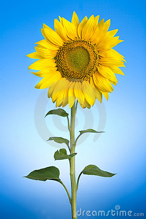 Free Sunflower Stock Images - 2914544