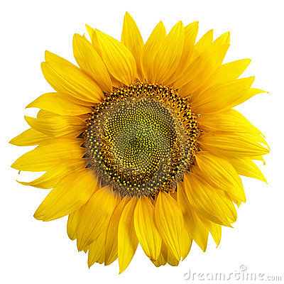 Free Sunflower Royalty Free Stock Photos - 2914638