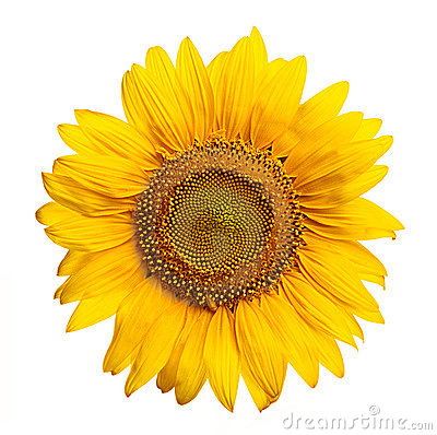Free Sunflower Stock Images - 3086344