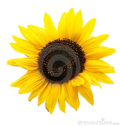 Free Sunflower Royalty Free Stock Images - 3923839