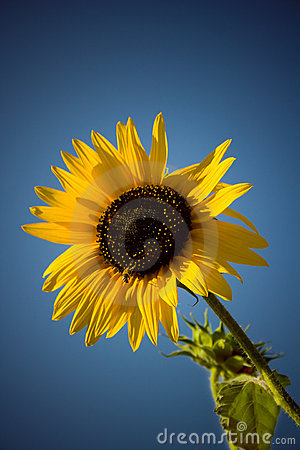 Sunflower Royalty Free Stock Photography - Image: 4051467