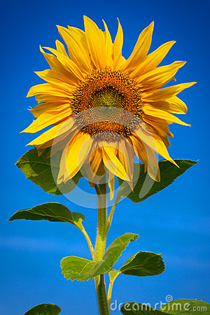 Free Sunflower Royalty Free Stock Photography - 43265067
