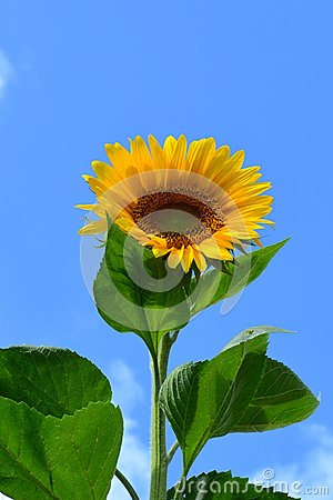 Free Sunflower Royalty Free Stock Image - 43415156