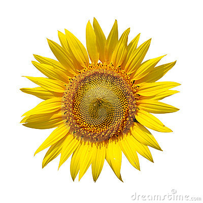Free Sunflower Stock Photography - 5017102