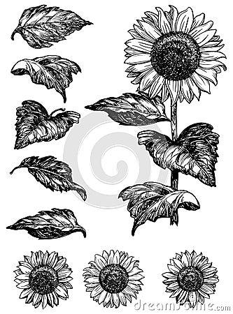 Free Sunflower Stock Photo - 52124120