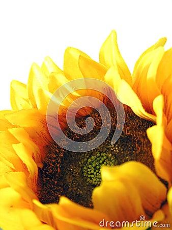 Free Sunflower Royalty Free Stock Image - 5425086