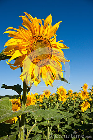 Free Sunflower Royalty Free Stock Image - 57140556