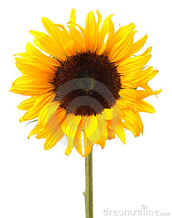 Free Sunflower Royalty Free Stock Image - 5991716
