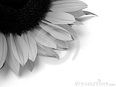 Black And White Sunflower Background. abstract ackground of a part