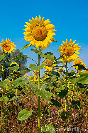 Free Sunflower Royalty Free Stock Image - 851646