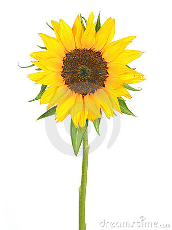 Free Sunflower Royalty Free Stock Image - 876976
