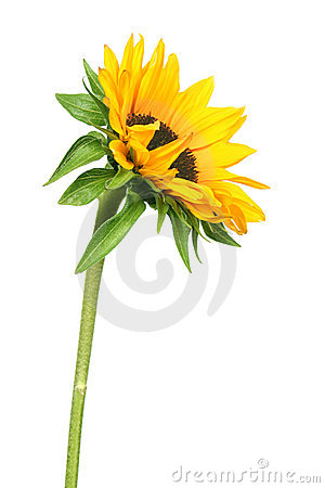 Free Sunflower Royalty Free Stock Photos - 876978