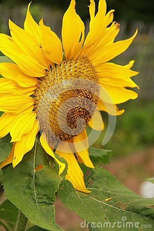 Free Sunflower Royalty Free Stock Images - 94796039