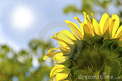 Sunflower absorbing the rays of the summertime sun