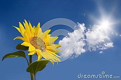 Sunflower against sunny sky