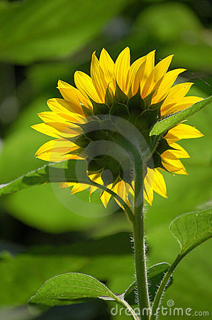 Sunflower, back view