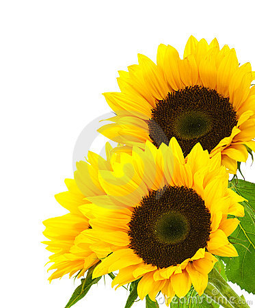 Free Sunflower Background Image Isolated On White Royalty Free Stock Image - 13247756