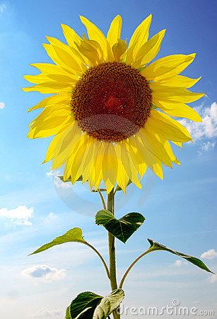 Sunflower on a background sky