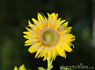 Sunflower Royalty Free Stock Photos Image 35970058