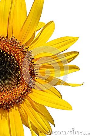 Free Sunflower Beauty Royalty Free Stock Photos - 1900328