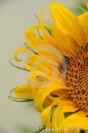 Free Sunflower Bee Stock Photos - 56724843