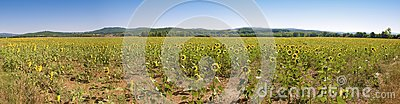 Sunflower big panorama Tuscany XL dimension