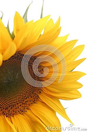 Free Sunflower Blossom Royalty Free Stock Photos - 12938