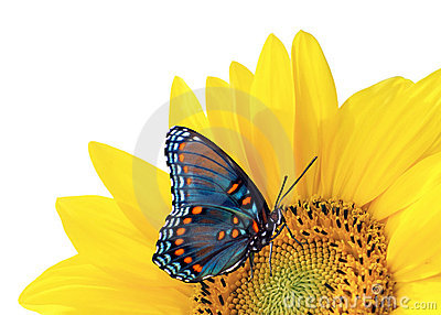 Sunflower And Blue Butterfly Royalty Free Stock Photo ...
