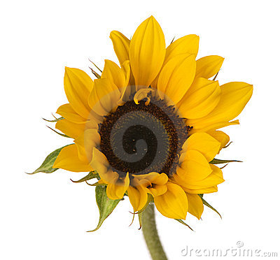 Sunflower Bright Single