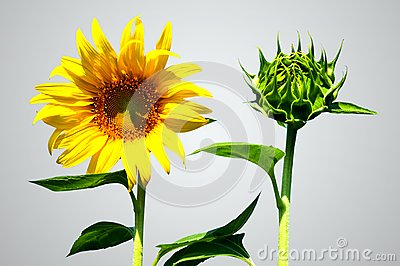 Sunflower and bud sun flower