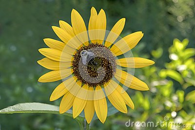 Sunflower with a Bumble Bee
