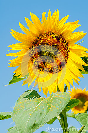 Sunflower  with a central heart-shaped