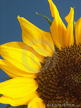 Free Sunflower Close-up Stock Image - 146531