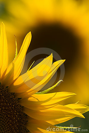 Free Sunflower Close Up Stock Image - 20308371