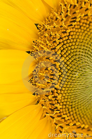 Free Sunflower Close-up Royalty Free Stock Image - 2674276