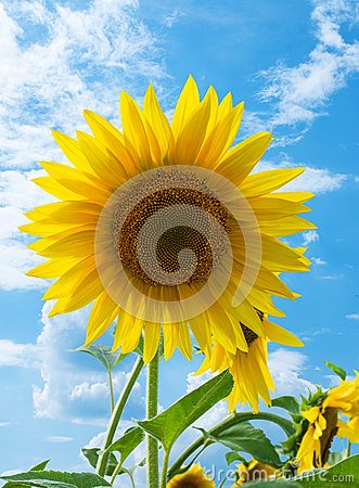Free Sunflower Close-up Stock Photo - 32595760