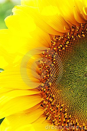 Free Sunflower Close-up Royalty Free Stock Image - 4451756