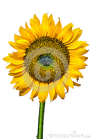 Sunflower Close-up Isolated
