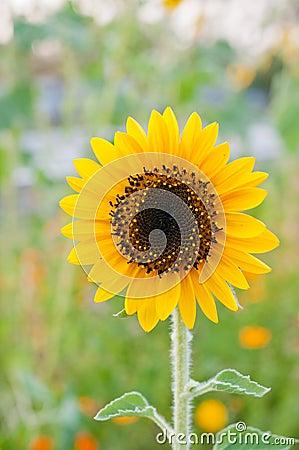 Sunflower closeup in the garden