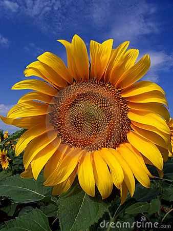 Free Sunflower Crop In West Texas Royalty Free Stock Photos - 194738