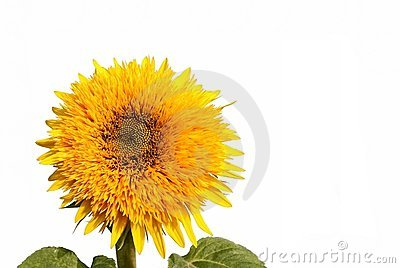 Sunflower decorative