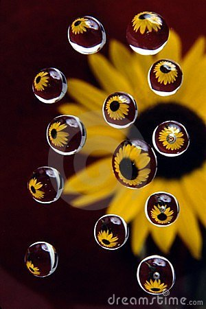 Sunflower in drops 4