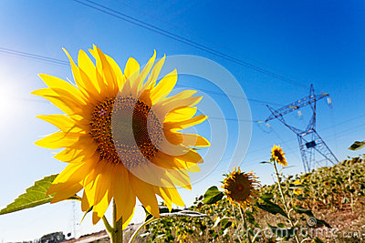 Sunflower and Electric Power